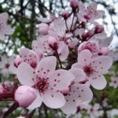 Cherry Plum: insonnia, paura di perdere il controllo